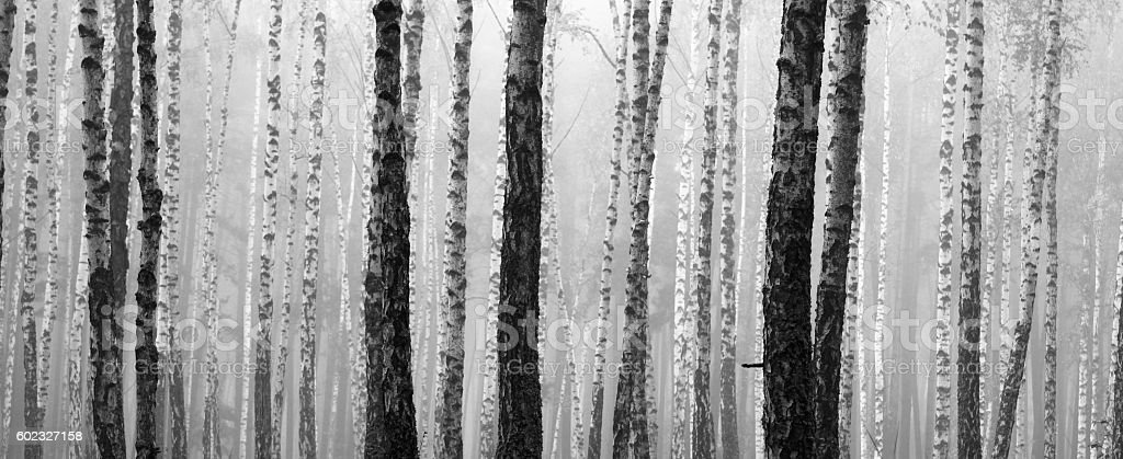 birch forest, black-white photo stock photo