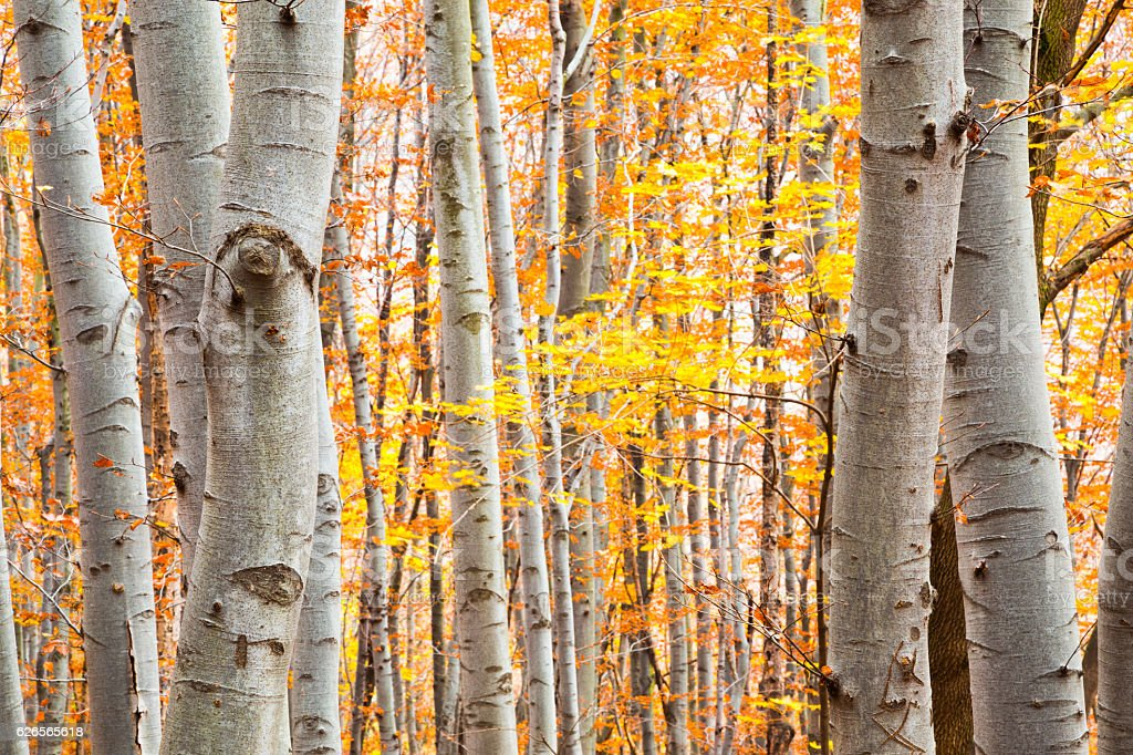 Birch forest in autumn with vibrant yellow leaves stock photo