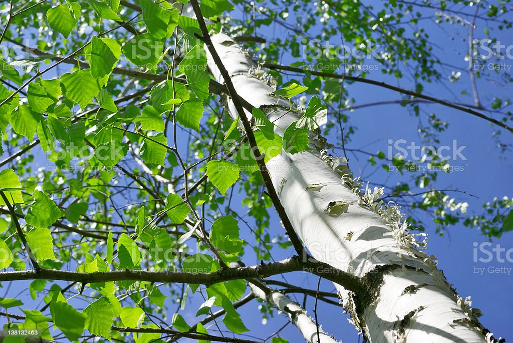 Birch forest in sunlight. royalty-free stock photo