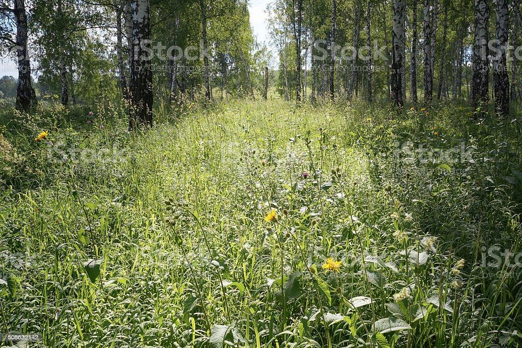 Floresta de bétula no luz solar foto de stock royalty-free