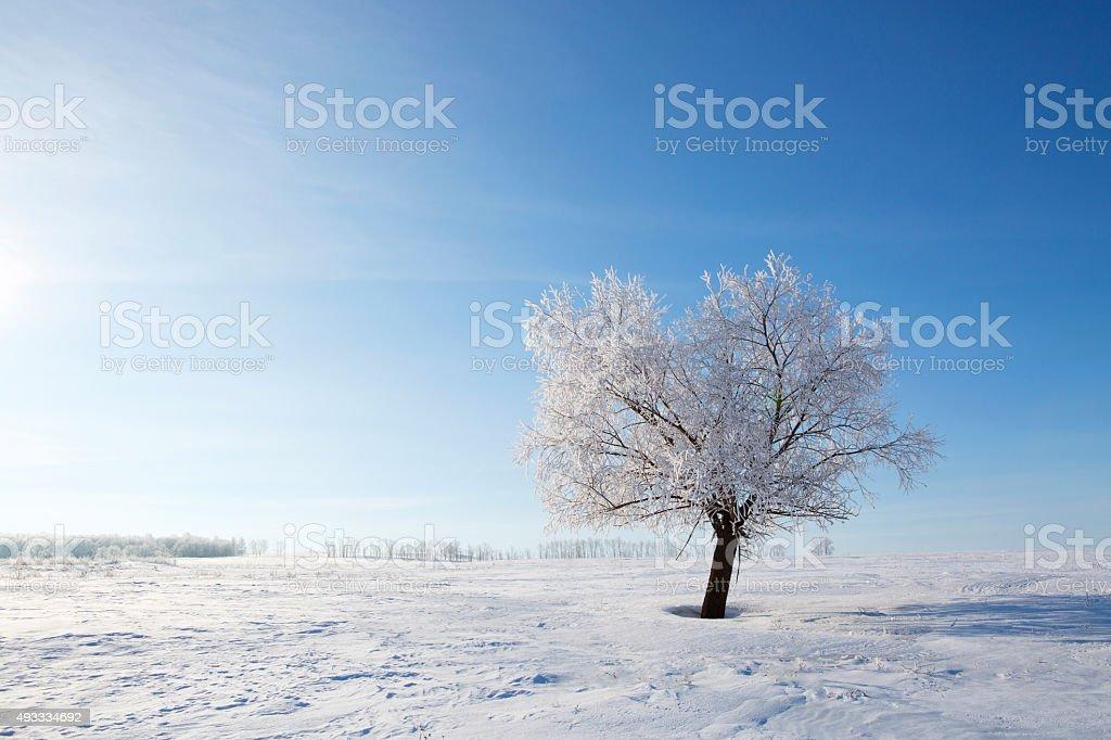 Birch forest in winter stock photo