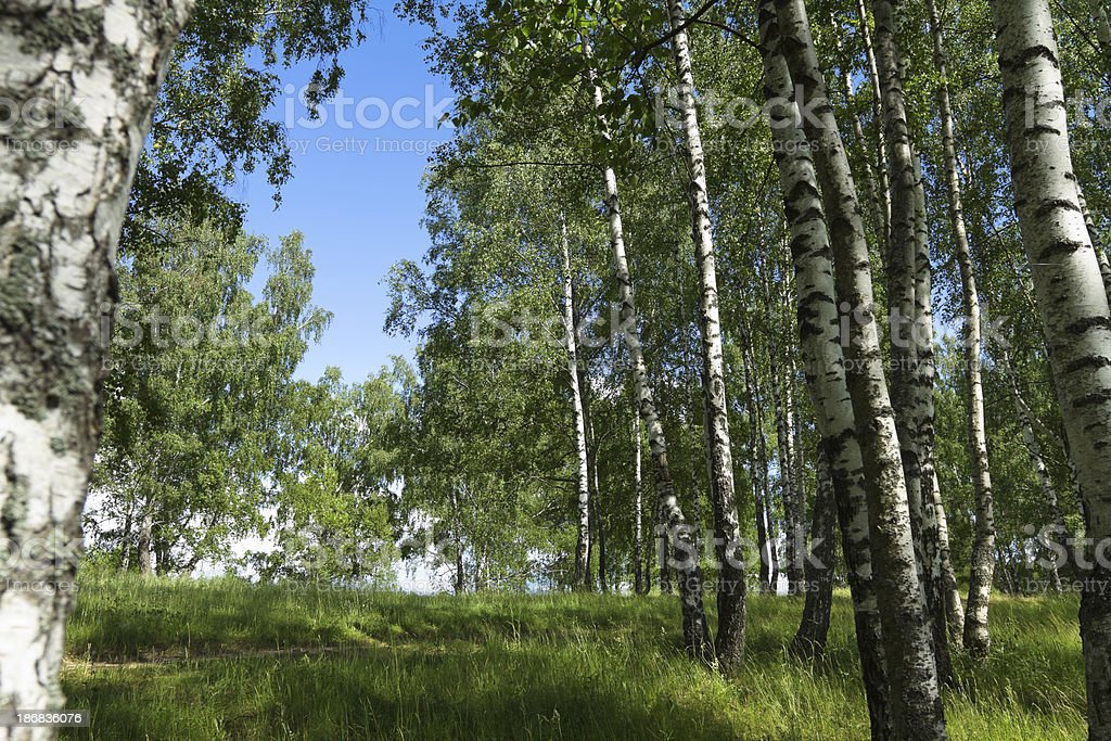 Birch forest royalty-free stock photo