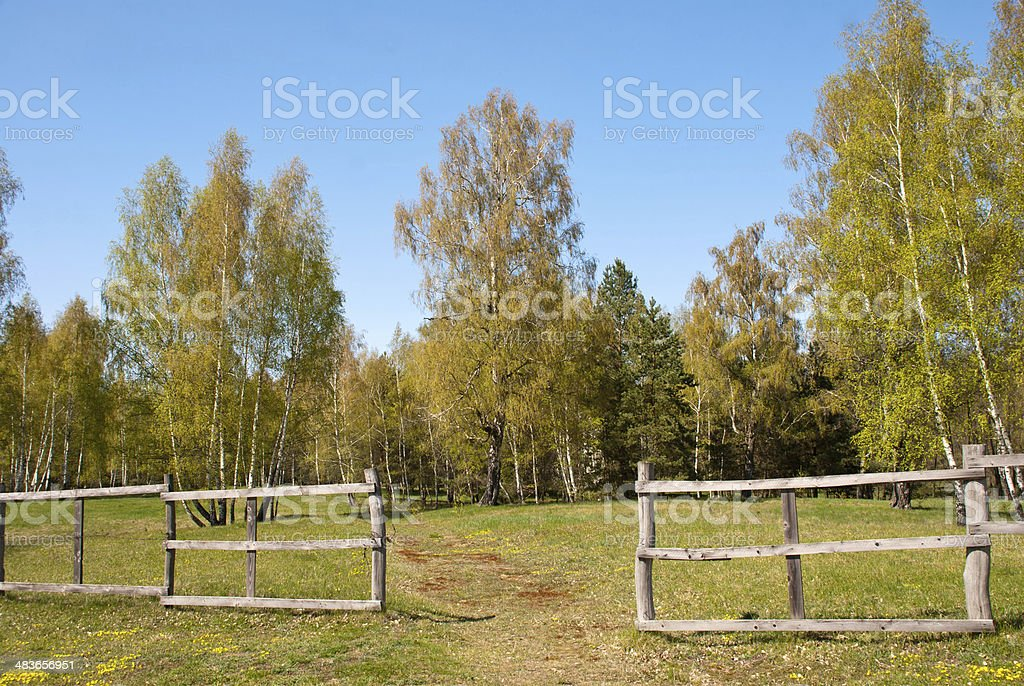 birch forest with fence stock photo