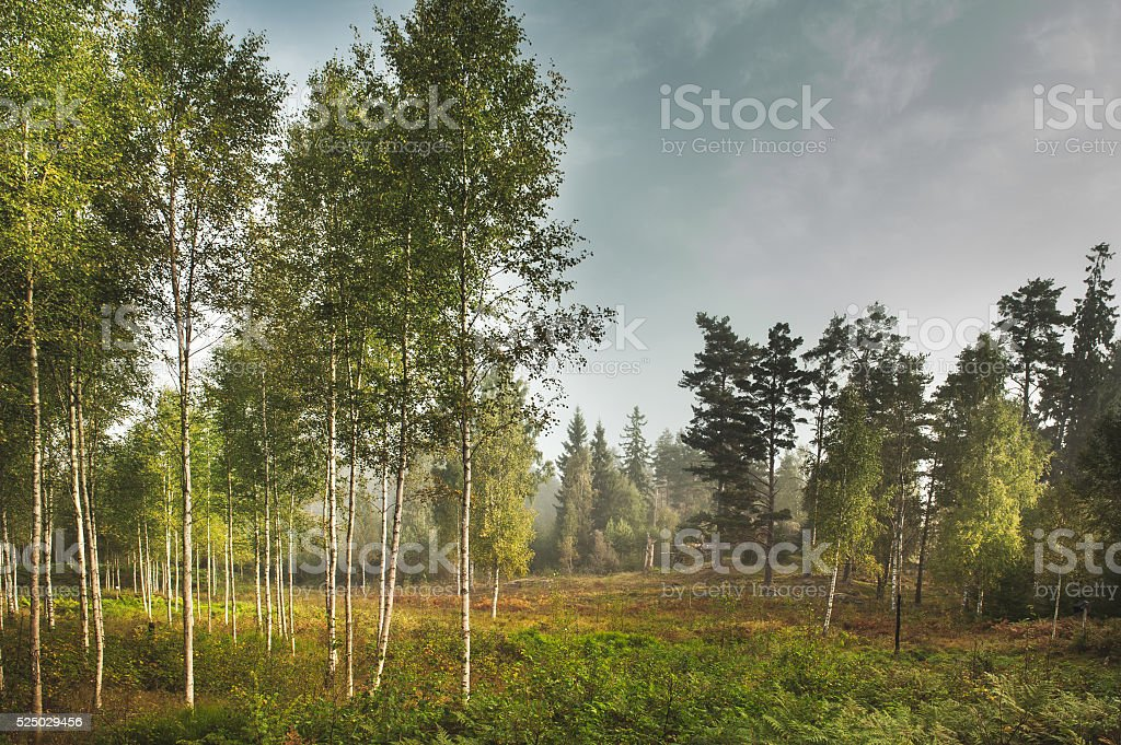 Birch grove in a forest clearing in Sweden. stock photo