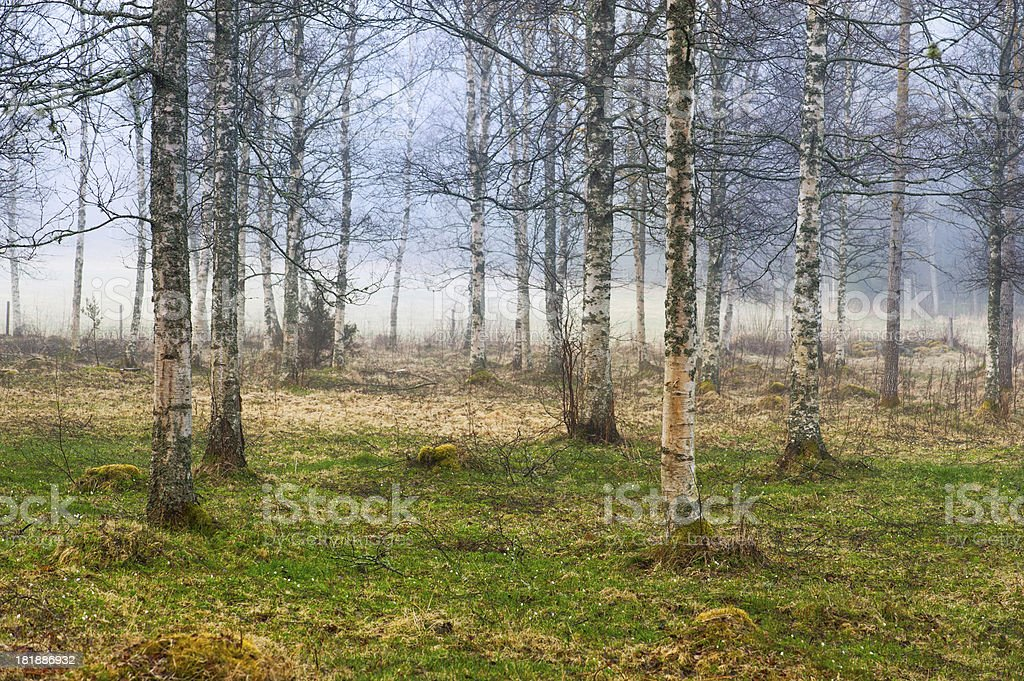 birch grove in early spring royalty-free stock photo