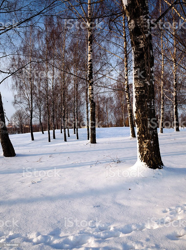 birch grove in winter stock photo