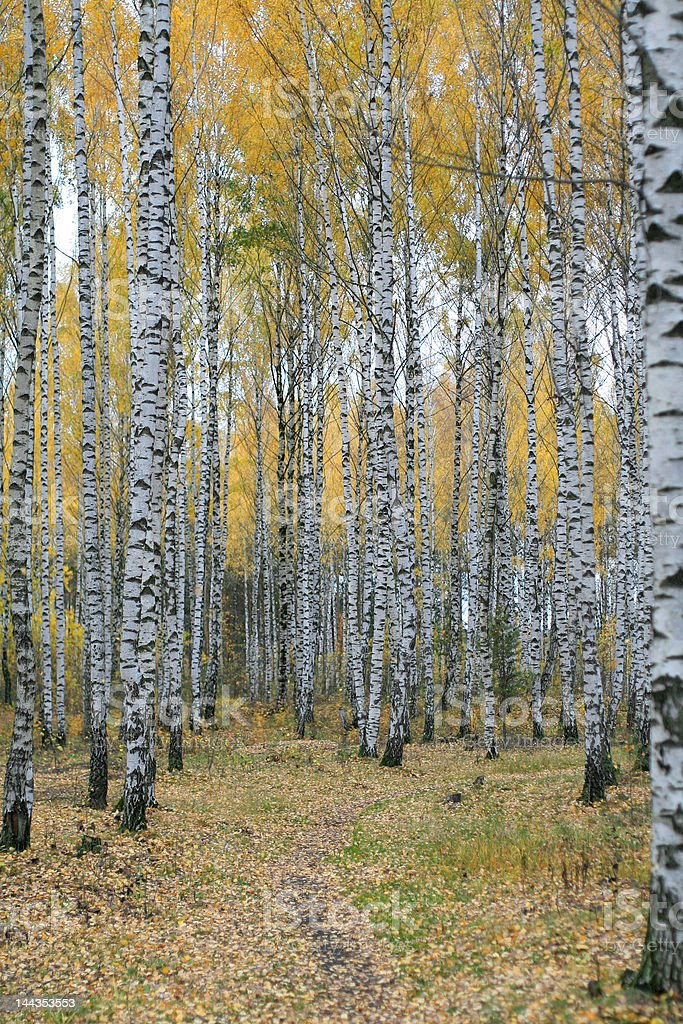 Birch grove royalty-free stock photo