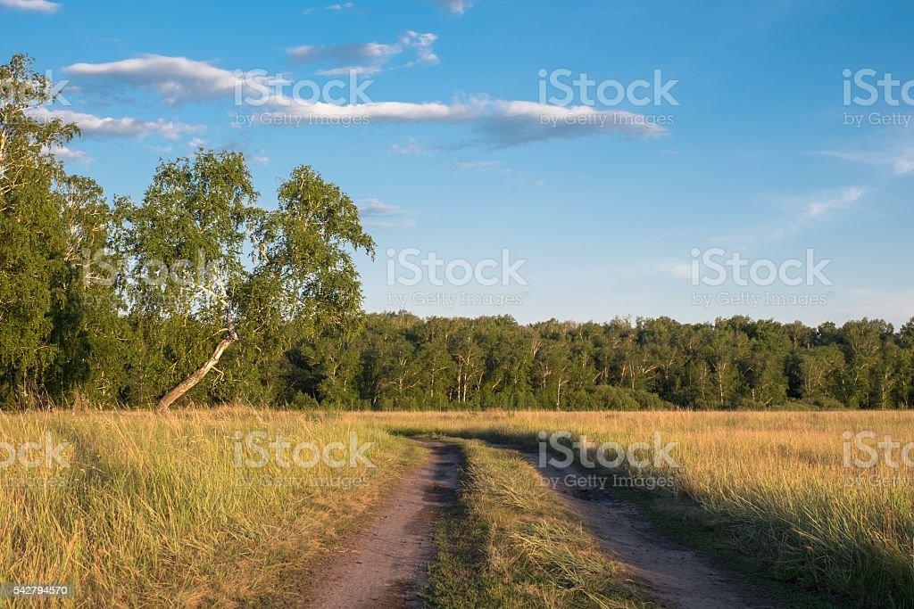 Birch in a field in the village stock photo