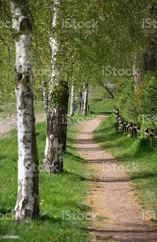 Birch in spring stock photo