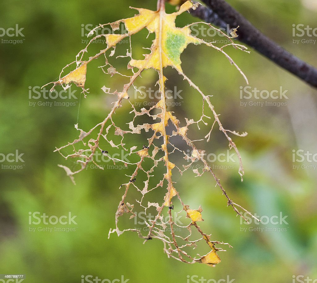 birch leaf after invasion of caterpillers stock photo