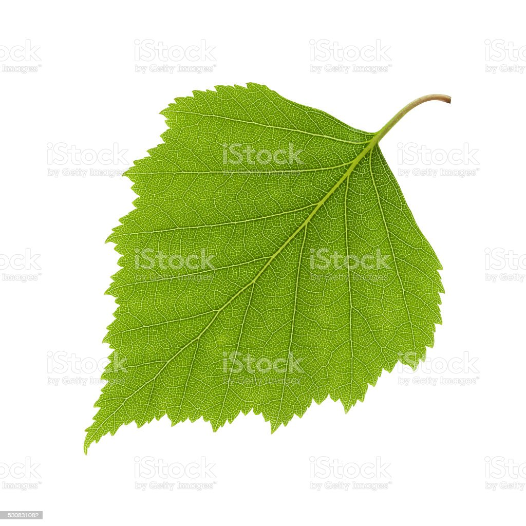 Birch leaf - clipping path included stock photo