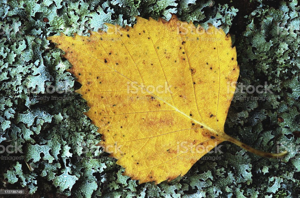 Birch leaf fallen on lichen stock photo