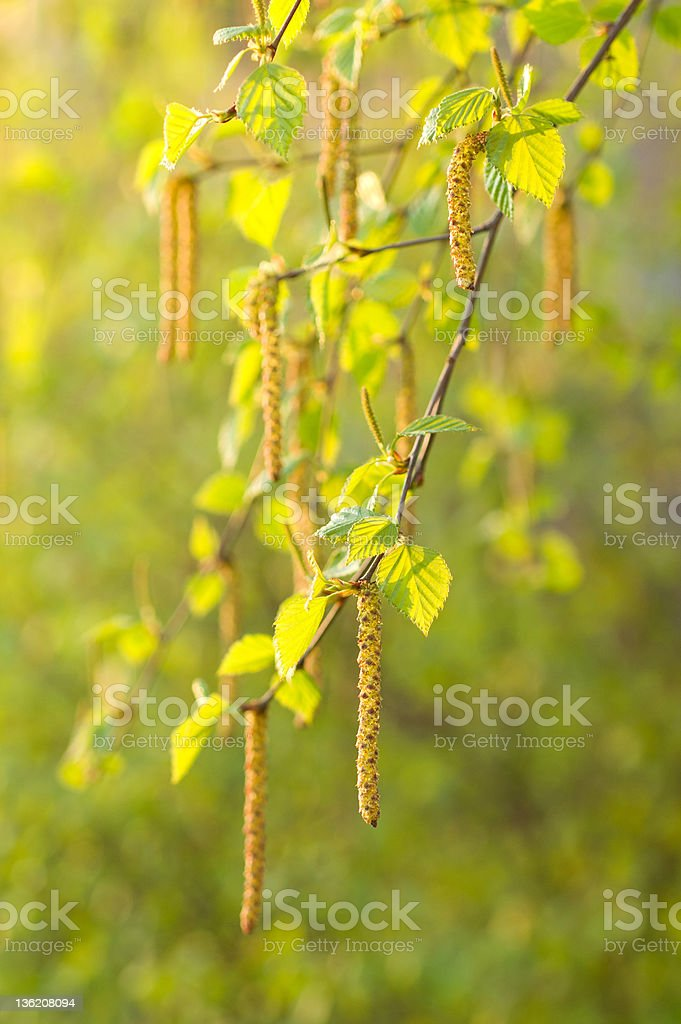Birch leaves and aments royalty-free stock photo
