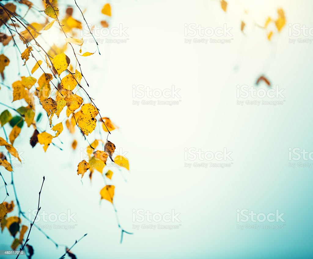 Birch Leaves In Autumn stock photo