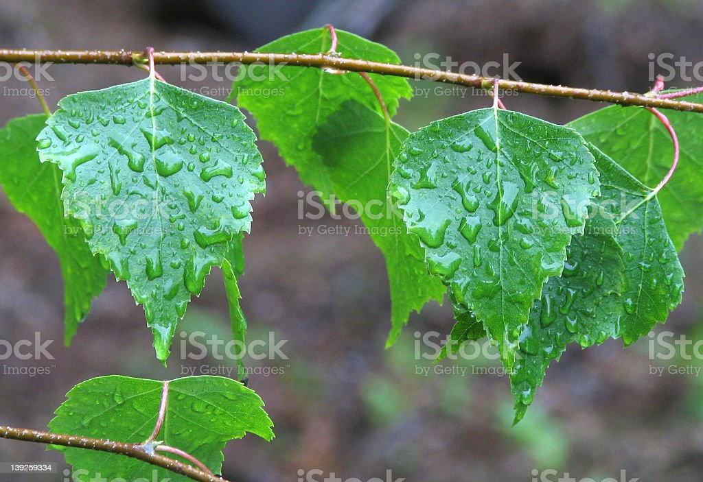 Birch Leaves royalty-free stock photo