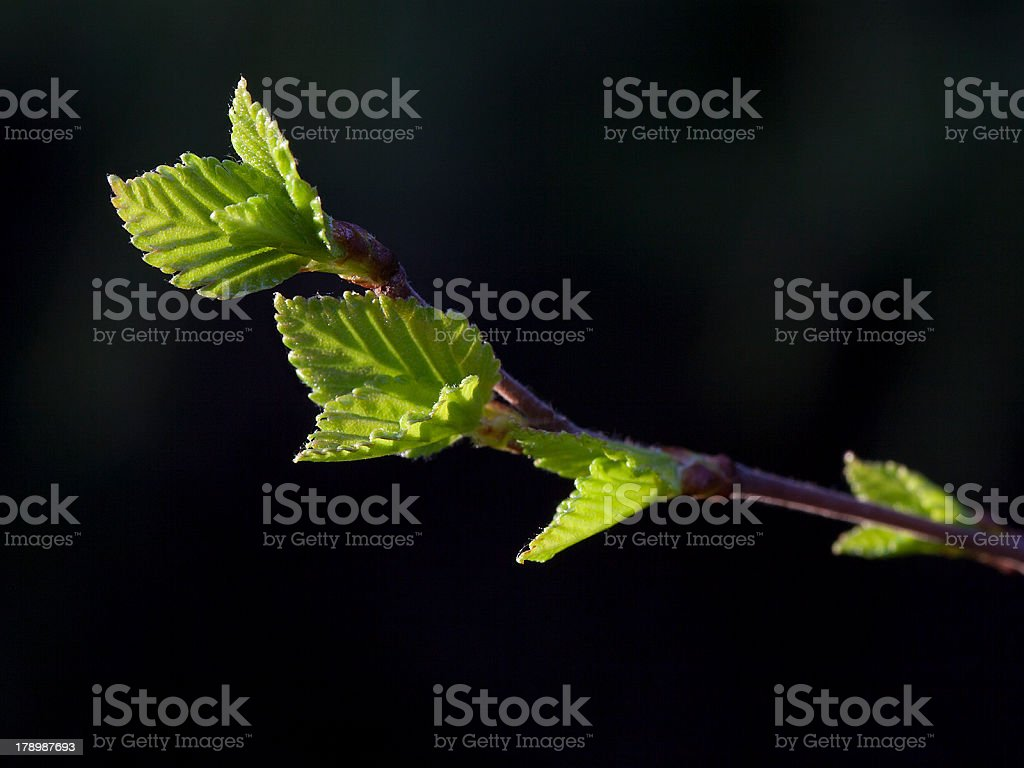 Birch leaves stock photo