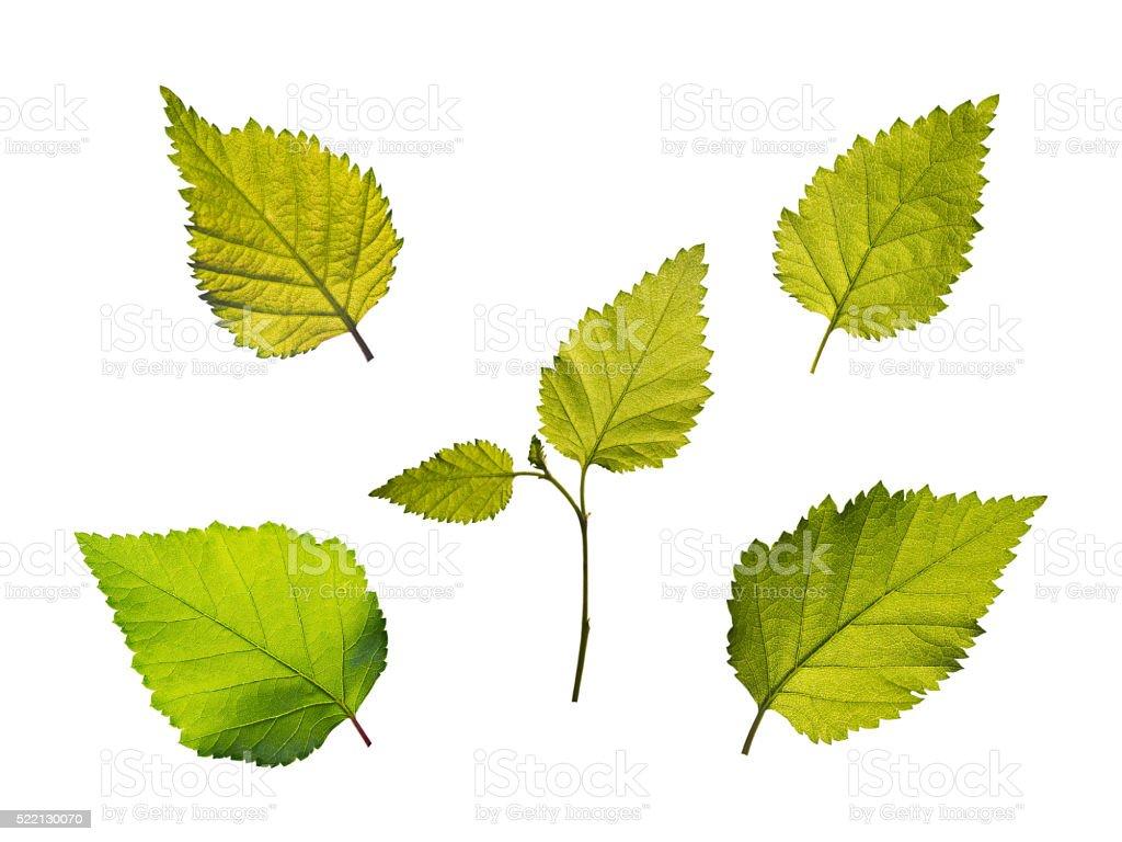 Birch leaves set stock photo
