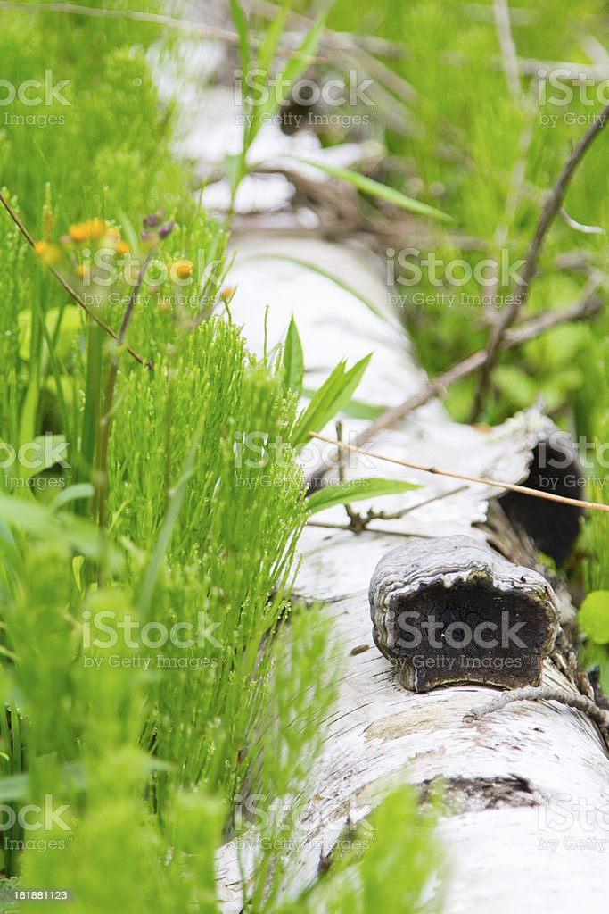 Birch Log on Forest Floor royalty-free stock photo