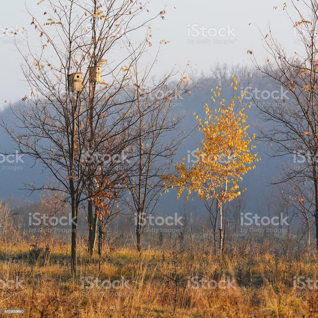 birch de la mañana foto de stock libre de derechos