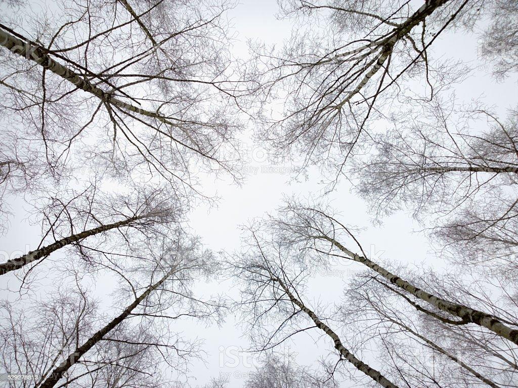 Birch on sky background. stock photo
