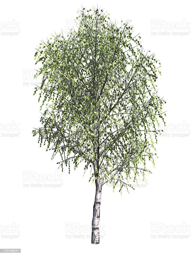 birch royalty-free stock photo