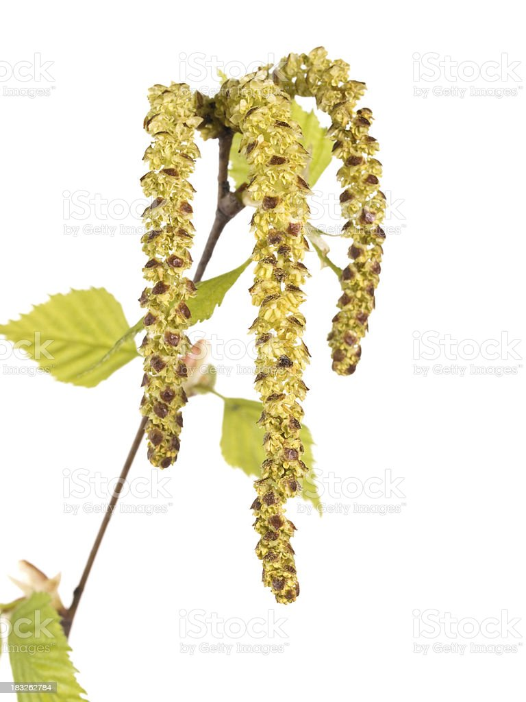 Birch stock photo