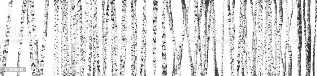 Birch stock photo