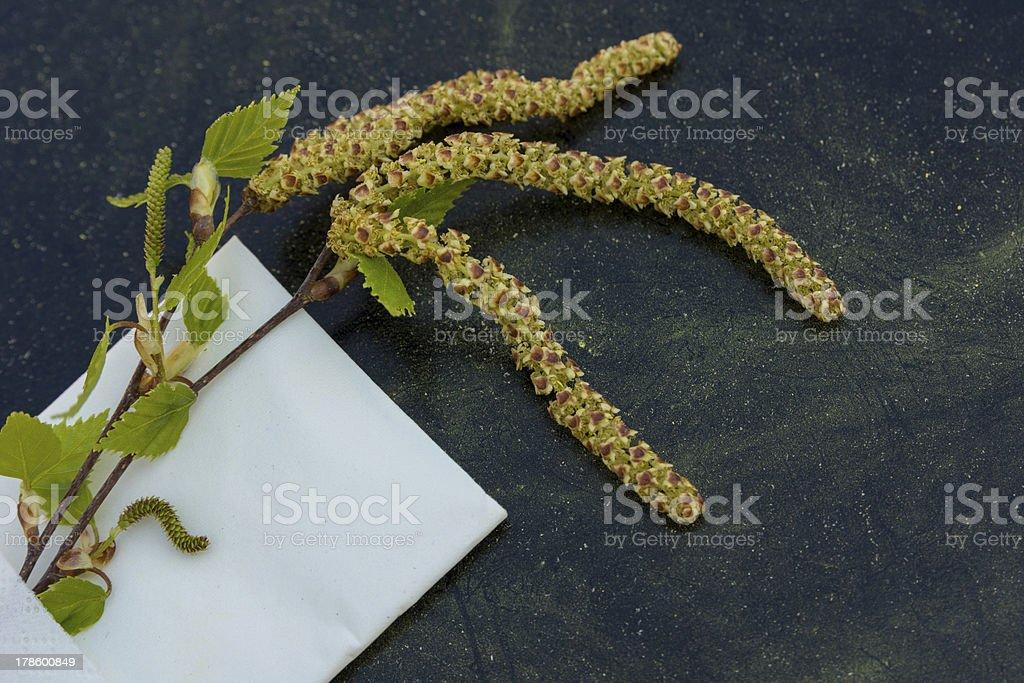 Birch pollen stock photo