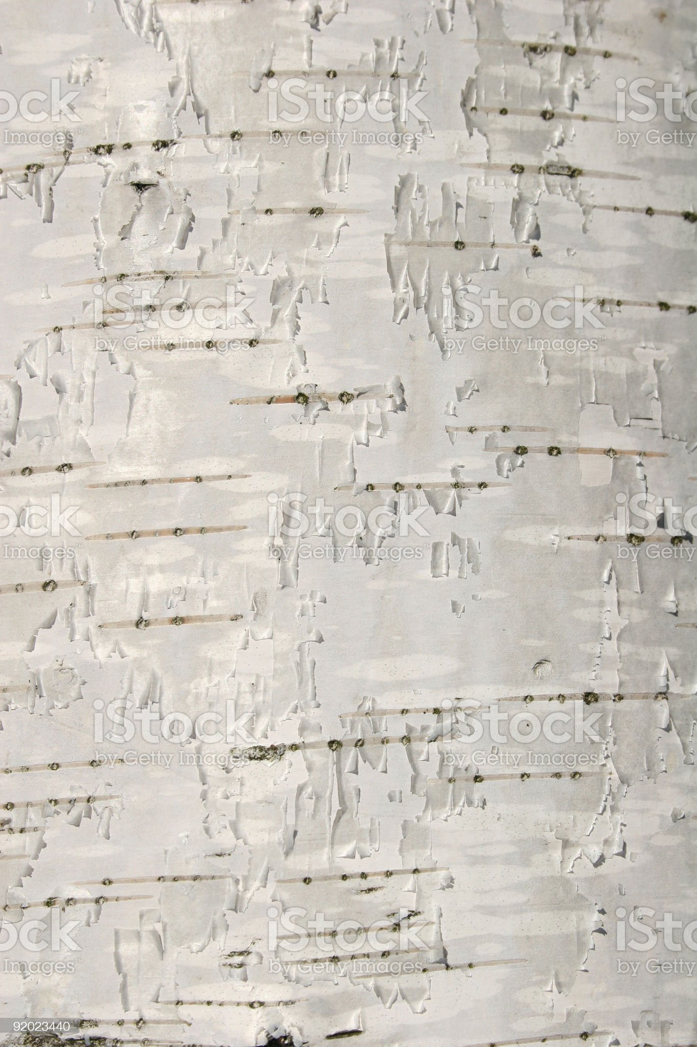 birch texture royalty-free stock photo