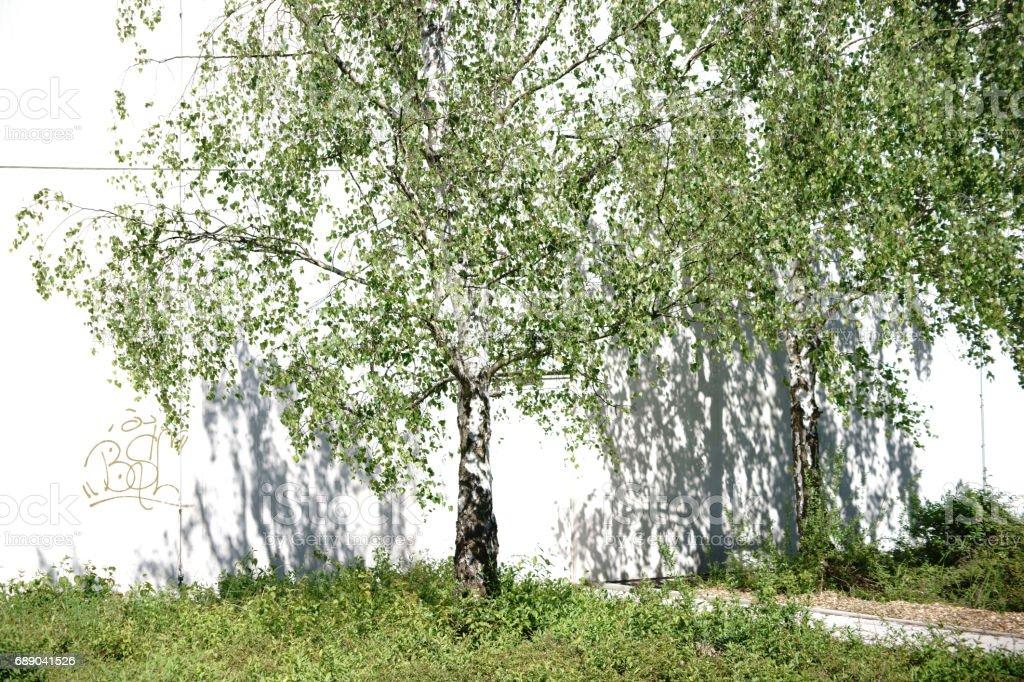 Birch throws shadows stock photo