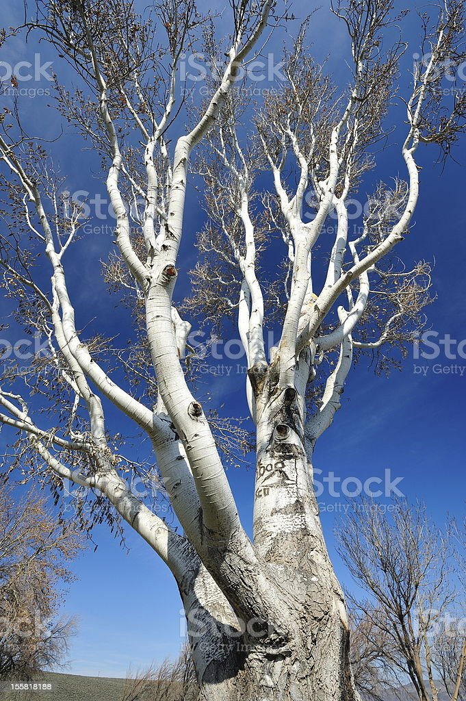 Birch Tree and Blue Sky royalty-free stock photo