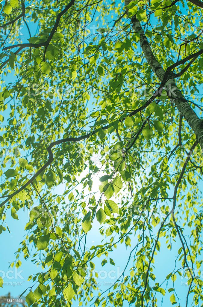 Birch tree and sunny sky stock photo