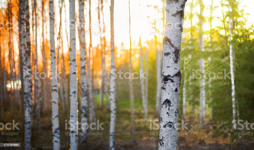 Birch tree at sunset stock photo