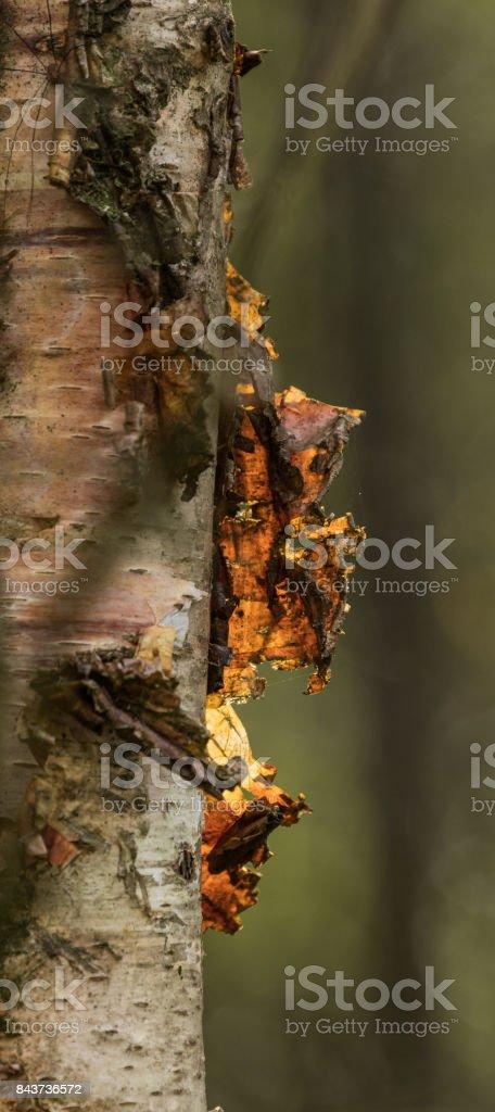 Birch Tree bark stock photo