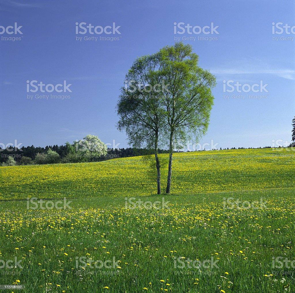 Birch tree [Betula] (image size XXXL) stock photo