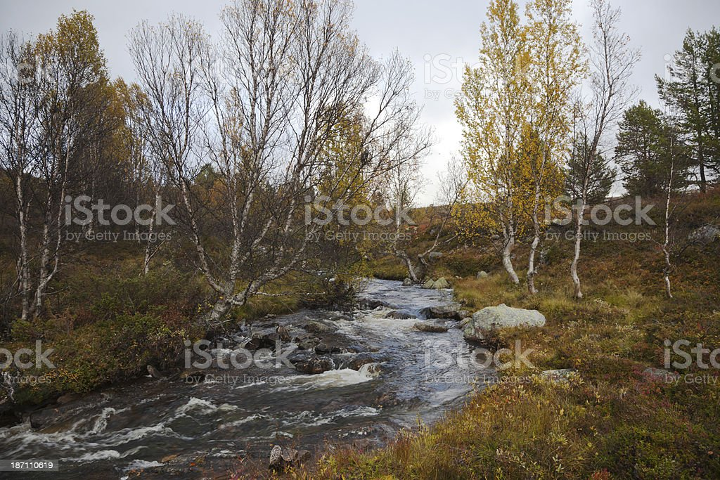 Birch tree by a river in fall. royalty-free stock photo