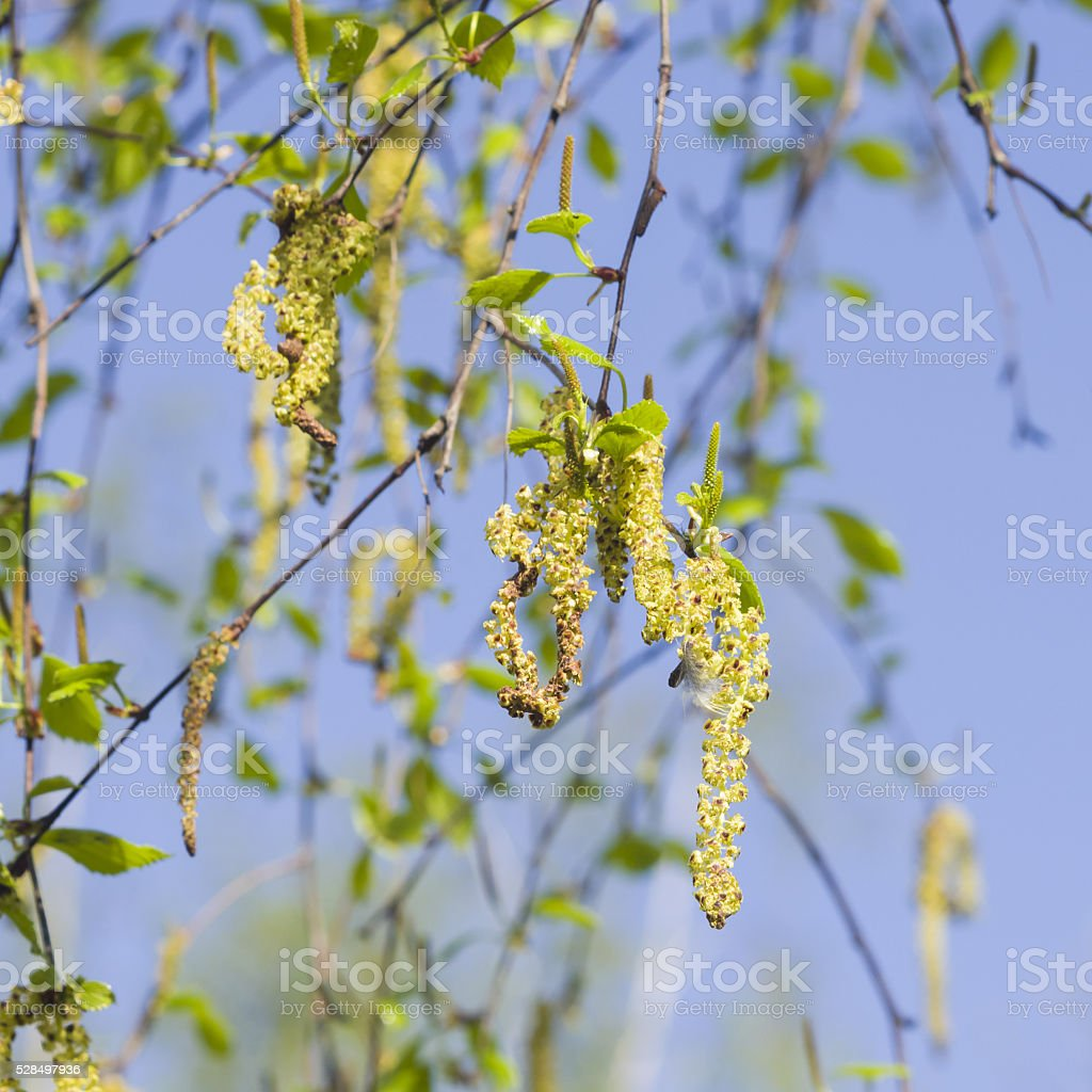 Birch tree catkins and young leaves on branch macro stock photo