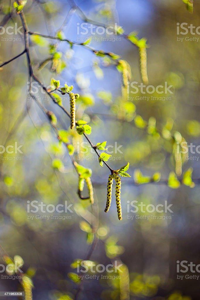 Birch tree catkins in spring stock photo