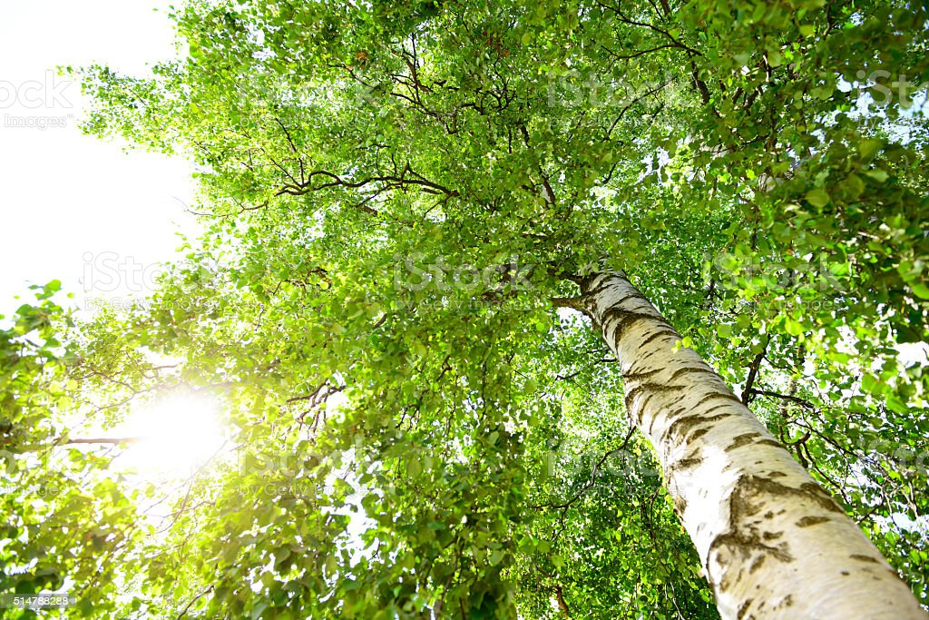 birch tree close up. The trunk, branches and leaves. stock photo