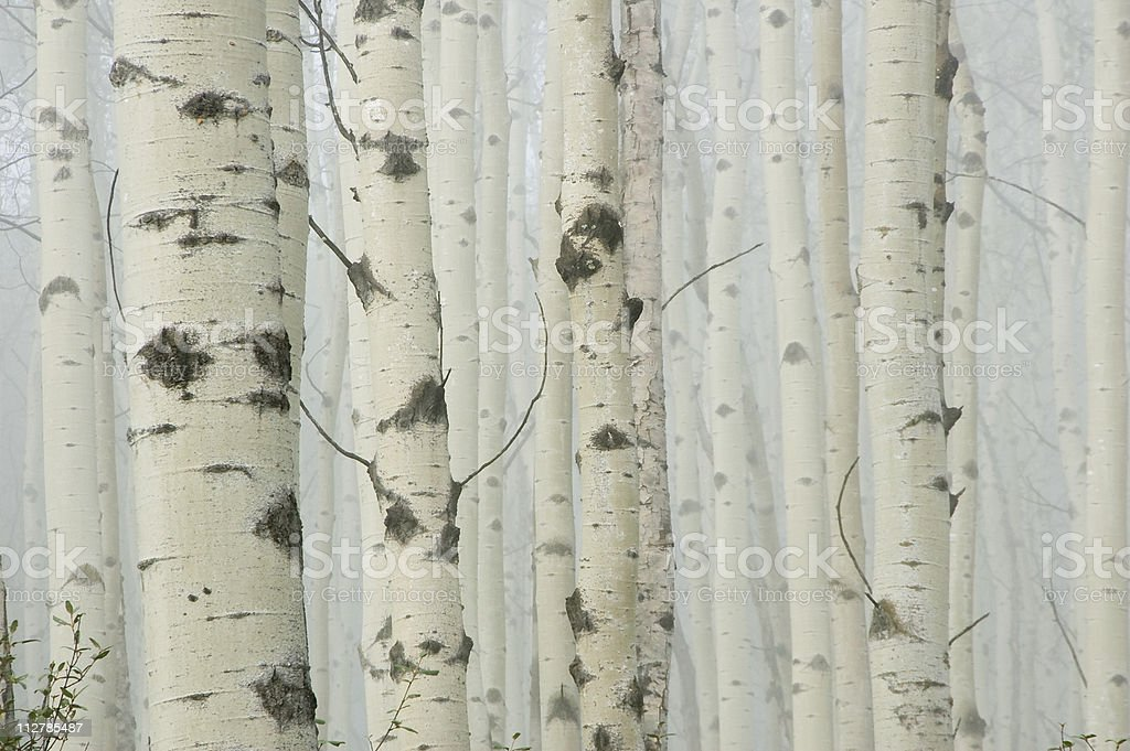 Birch tree forest in morning fog stock photo