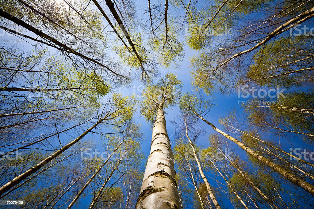 Birch tree forest stock photo