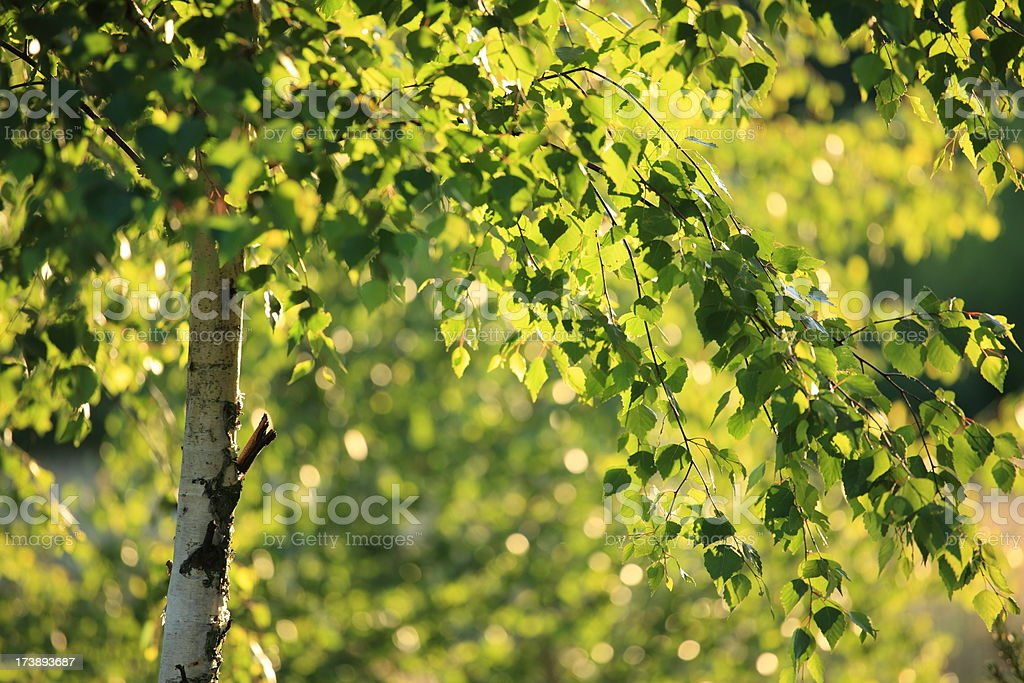 Birch tree - green leaves royalty-free stock photo