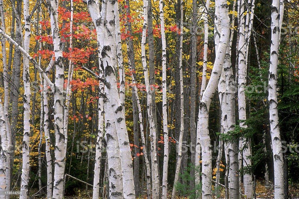 Birch Tree Grove in Autumn Colors stock photo