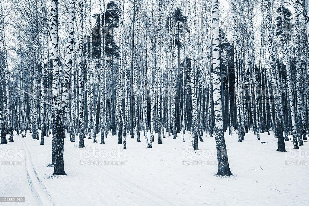 Birch tree grove. stock photo