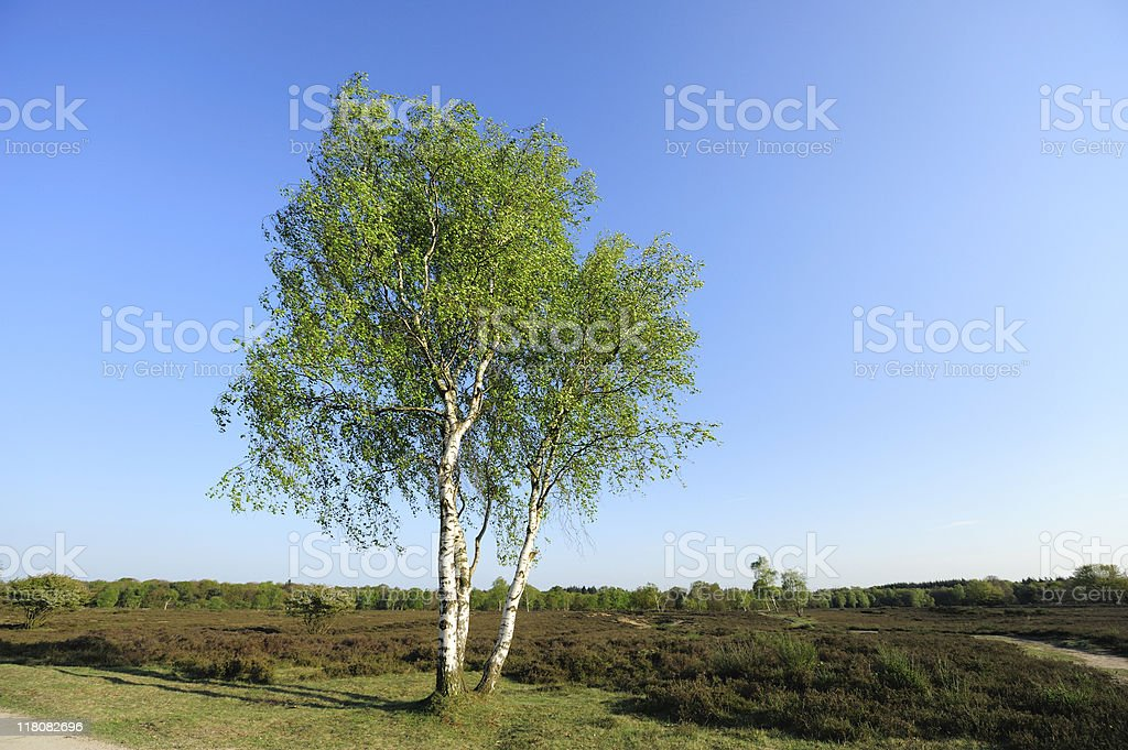 Birch tree in a Dutch heather landscape stock photo