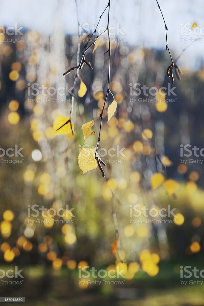 Birch tree in fall. royalty-free stock photo