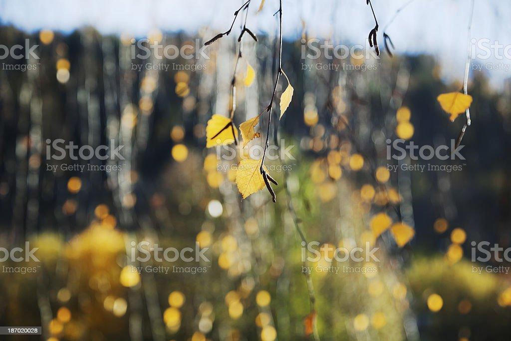 Birch tree in fall. royalty-free stock photo