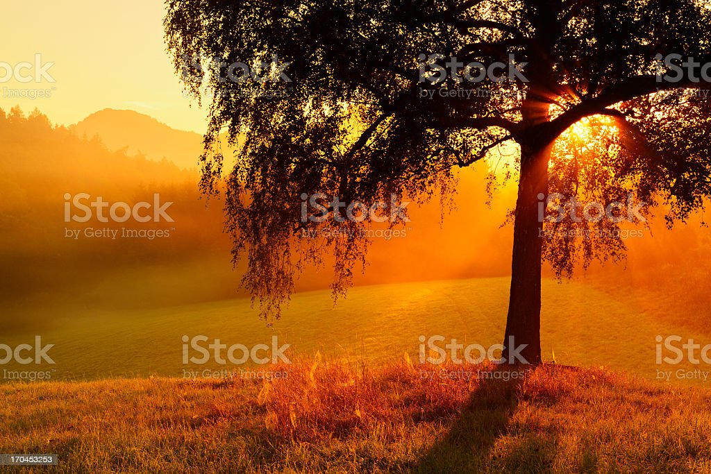 Birch Tree in Morning Mist on Mountain Meadow at Sunrise royalty-free stock photo