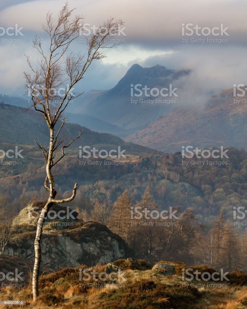 Birch Tree In The Lake District. stock photo
