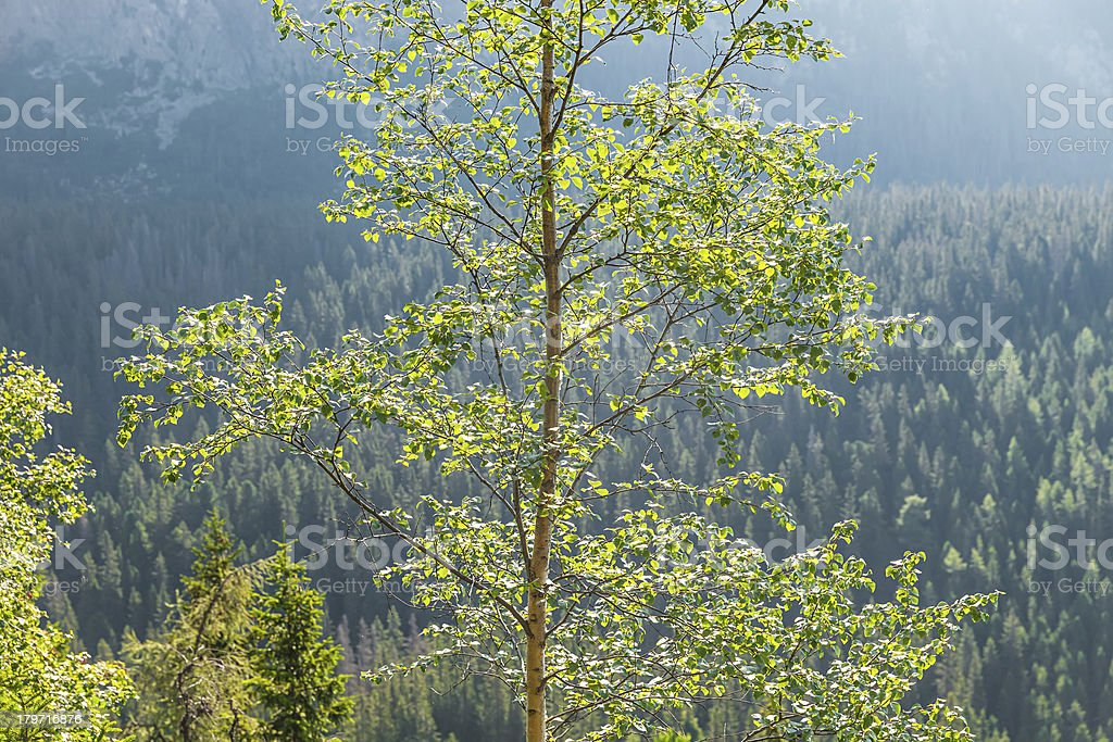 Birch tree in the sun light against forest-covered mountains royalty-free stock photo